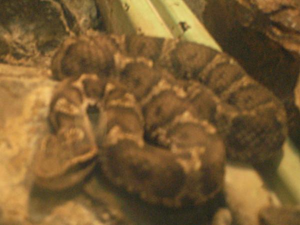 ニホンマムシの画像 p1_28